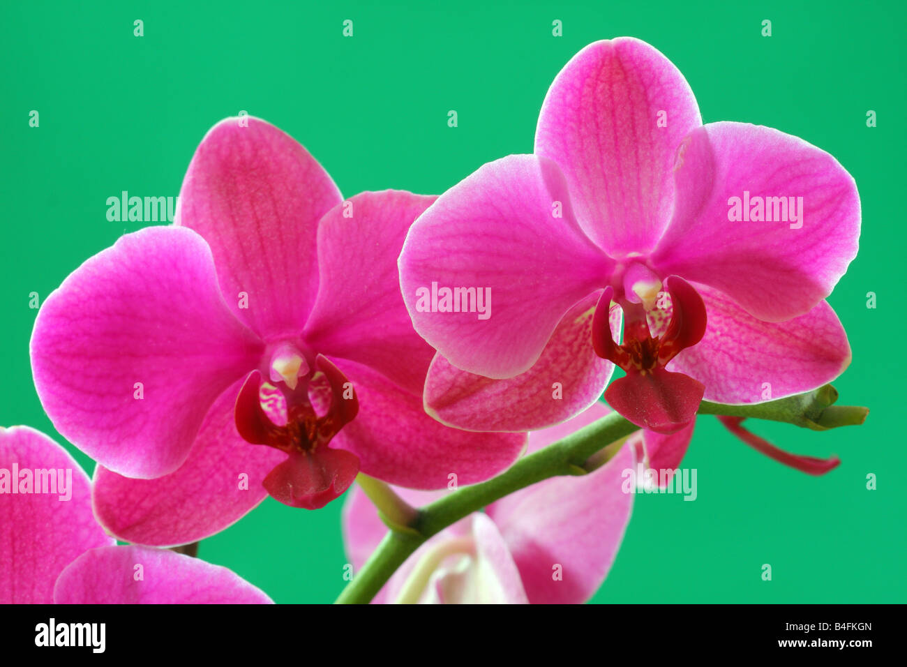 Pink orchid flowers close up Phalaenopsis - Stock Image