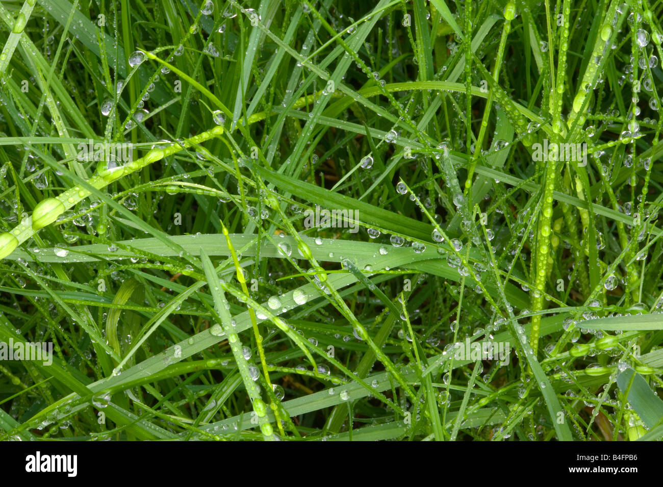 Close up of droplets on wet green grass - Stock Image