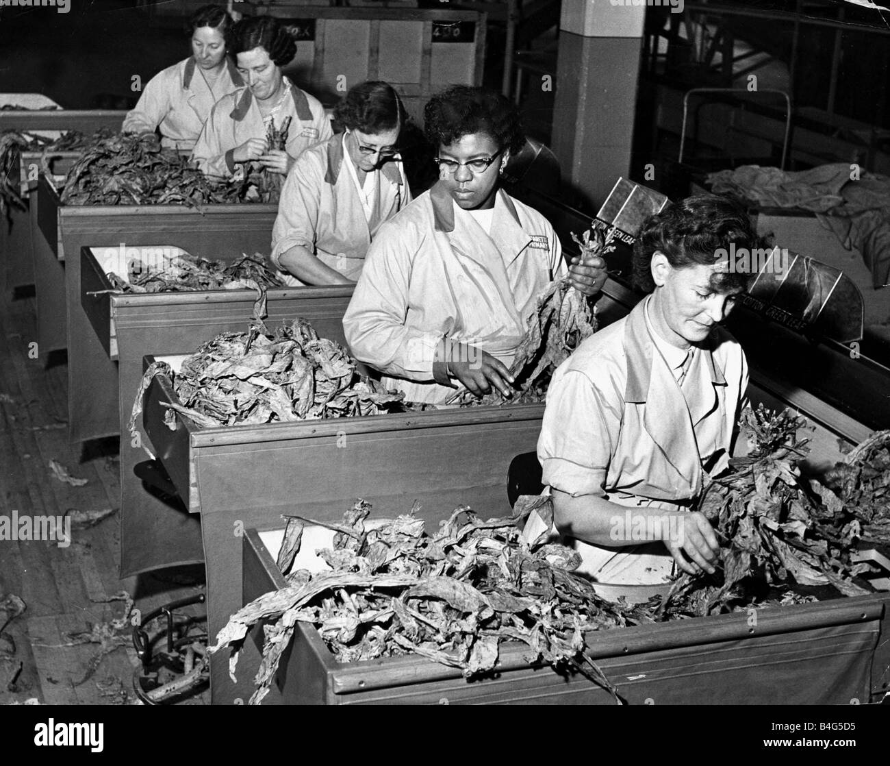 Women working in a tobacco factory sorting tobacco leaves November 1958 From front to back Mrs Edna Dempster Mrs - Stock Image