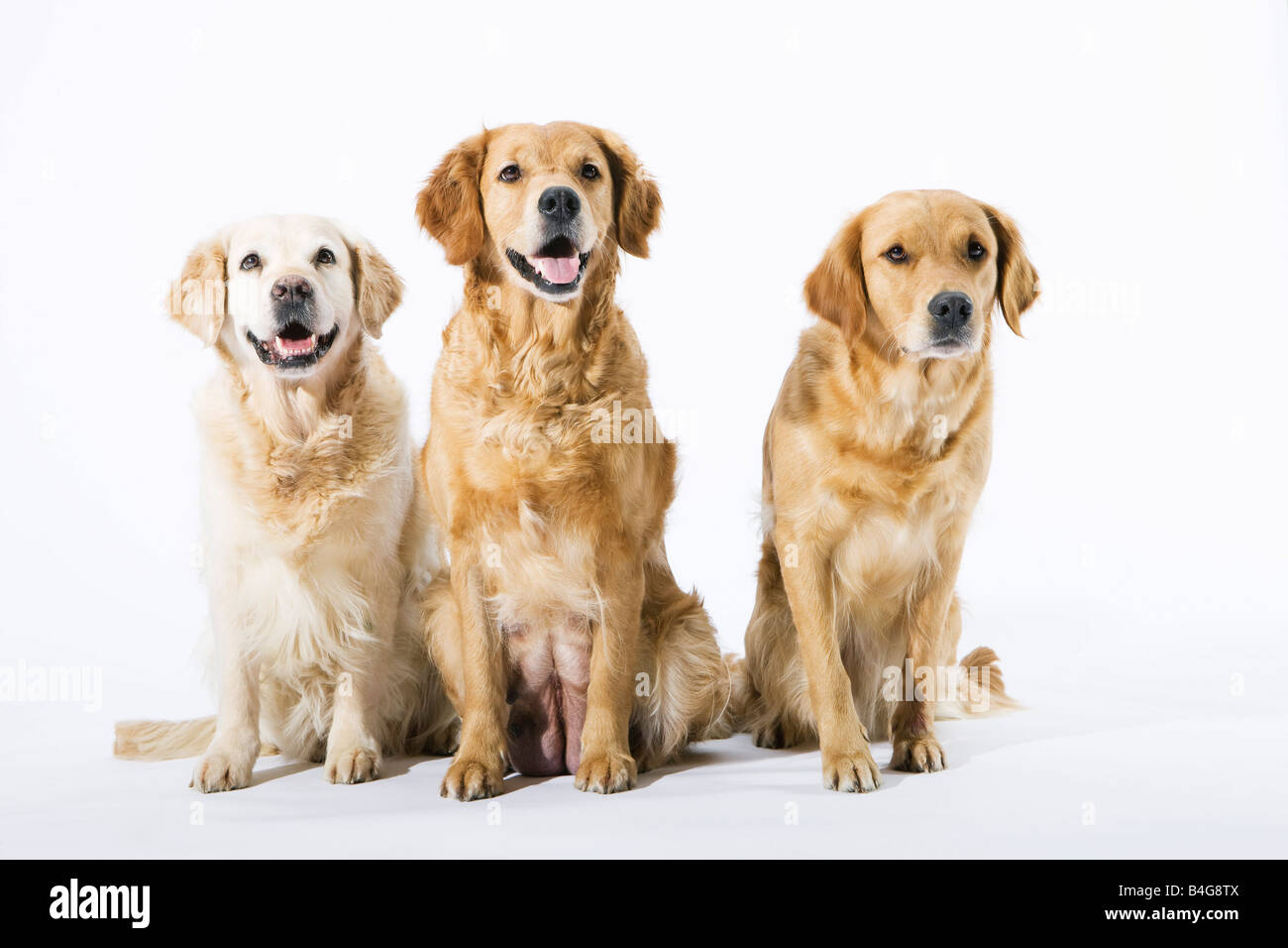 Three Golden Retrievers - Stock Image