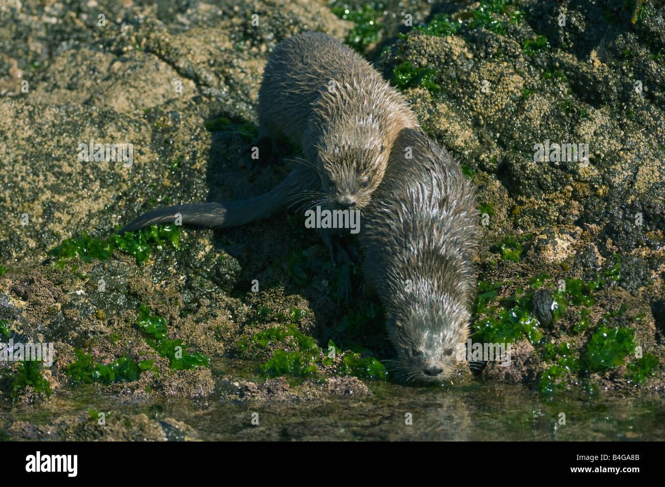 Marine Otter (Lontra felina) or Chungungo, ENDANGERED, Chiloe Island, CHILE, Adult Pair - Stock Image