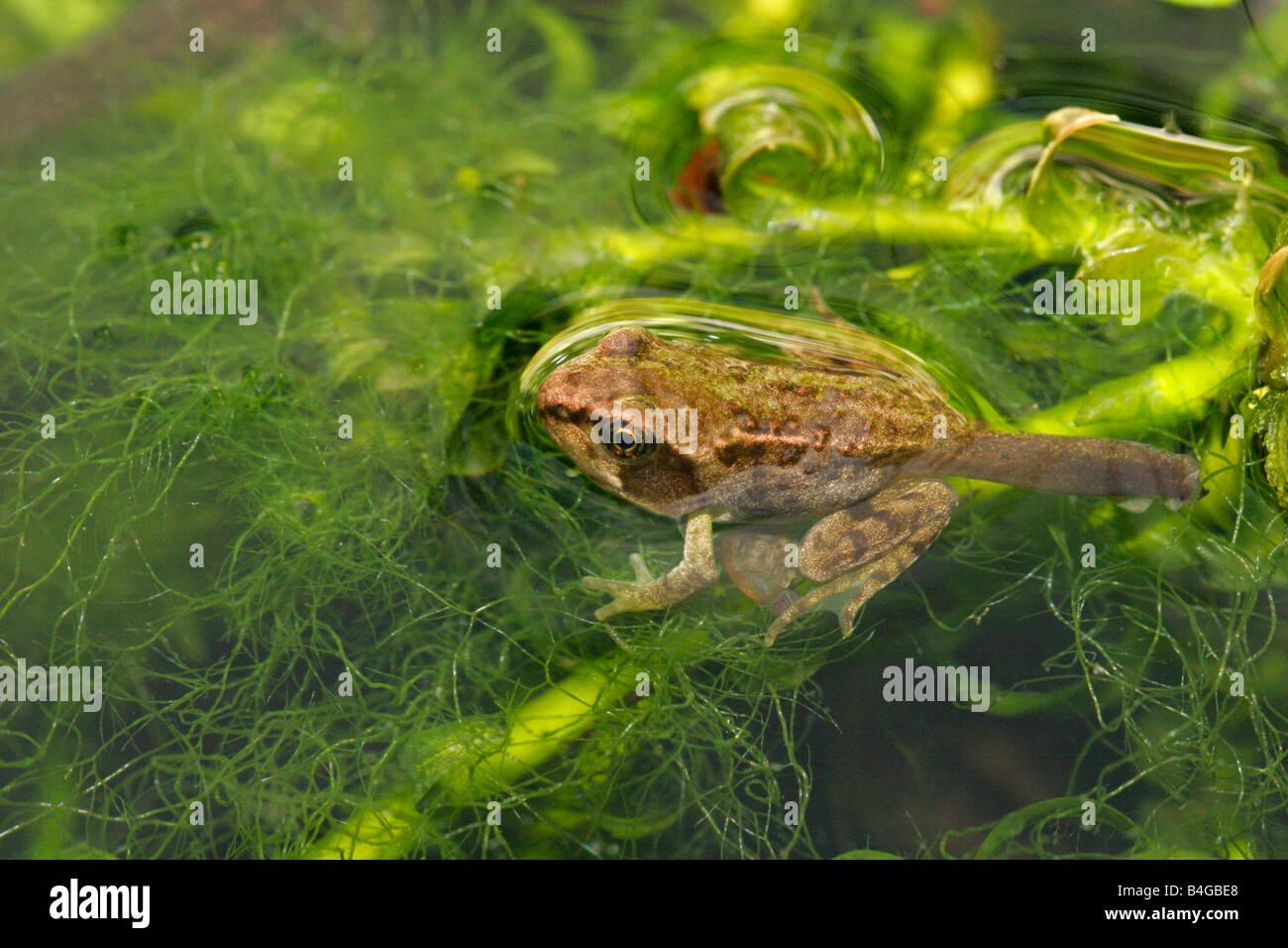 Common Frog Rana temporaria single froglet resting in garden pond Taken June London UK - Stock Image
