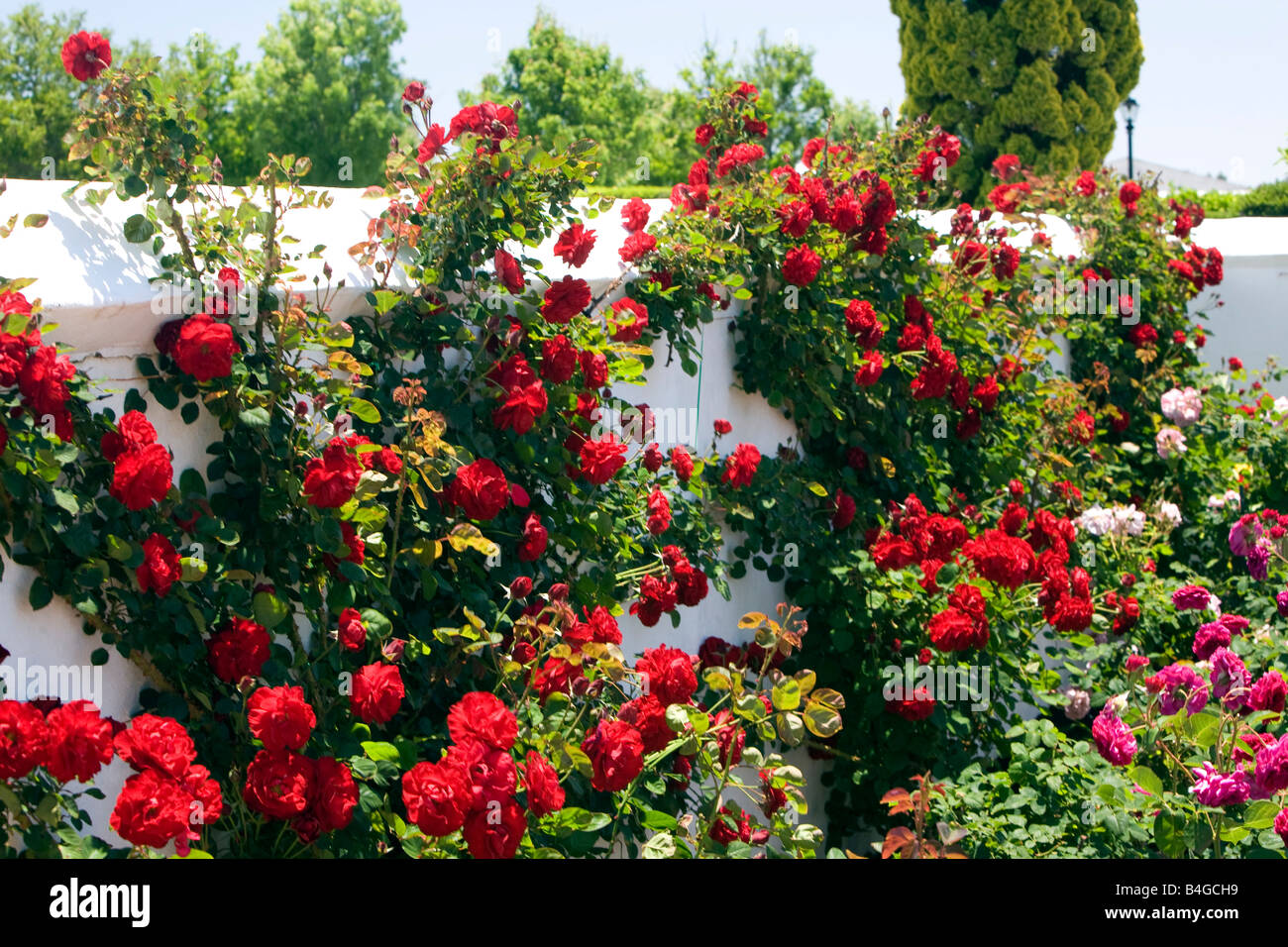 Red Roses Grow Against A White Wall In The Rose Garden At Voyager Estate  Vineyard,