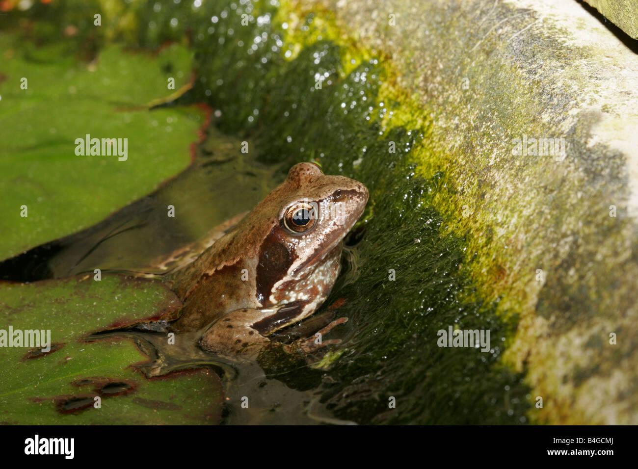 Common Frog Rana temporaria single adult resting in garden pond at night Taken June London UK - Stock Image