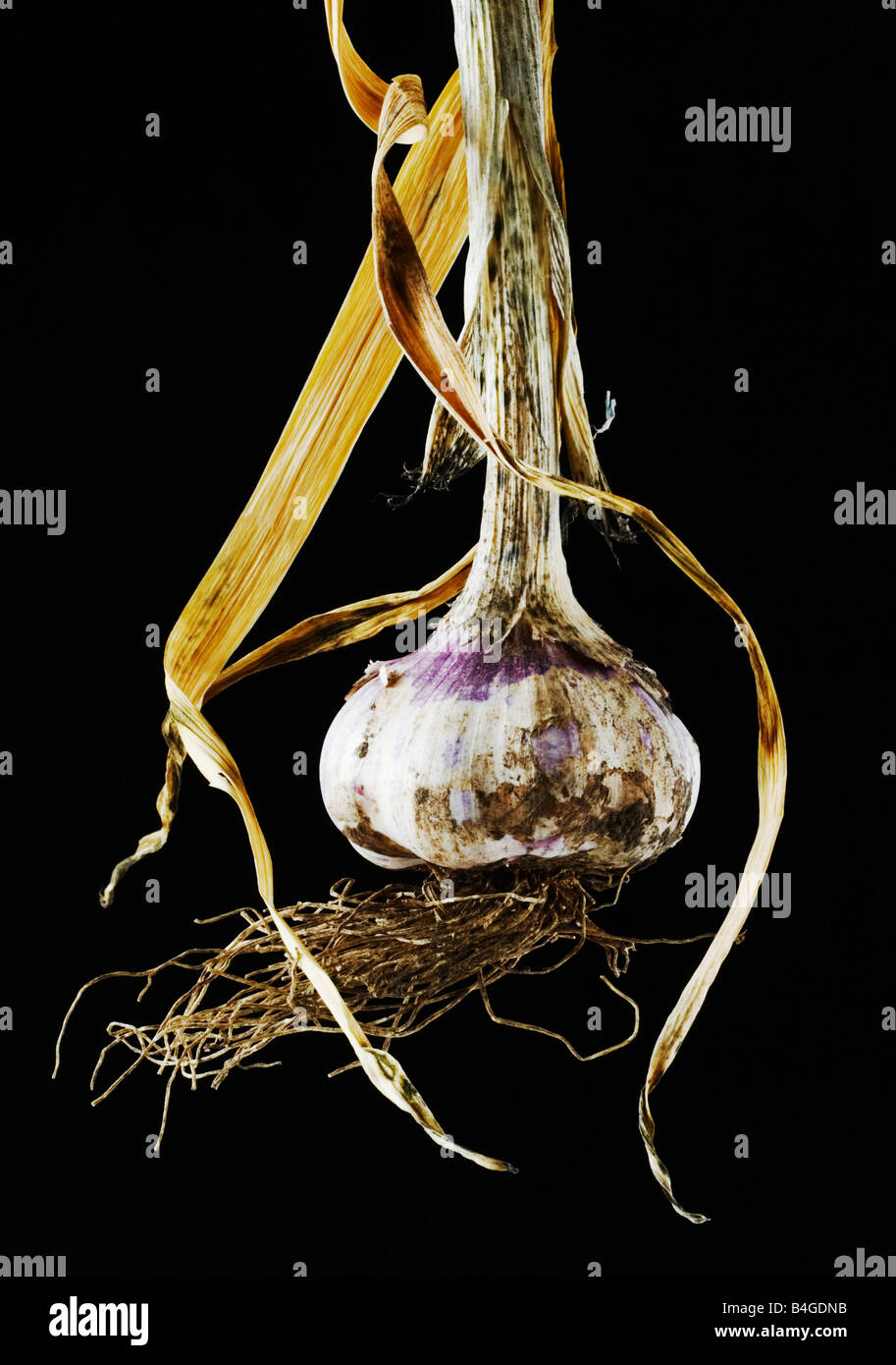 mature Garlic bulb Stock Photo