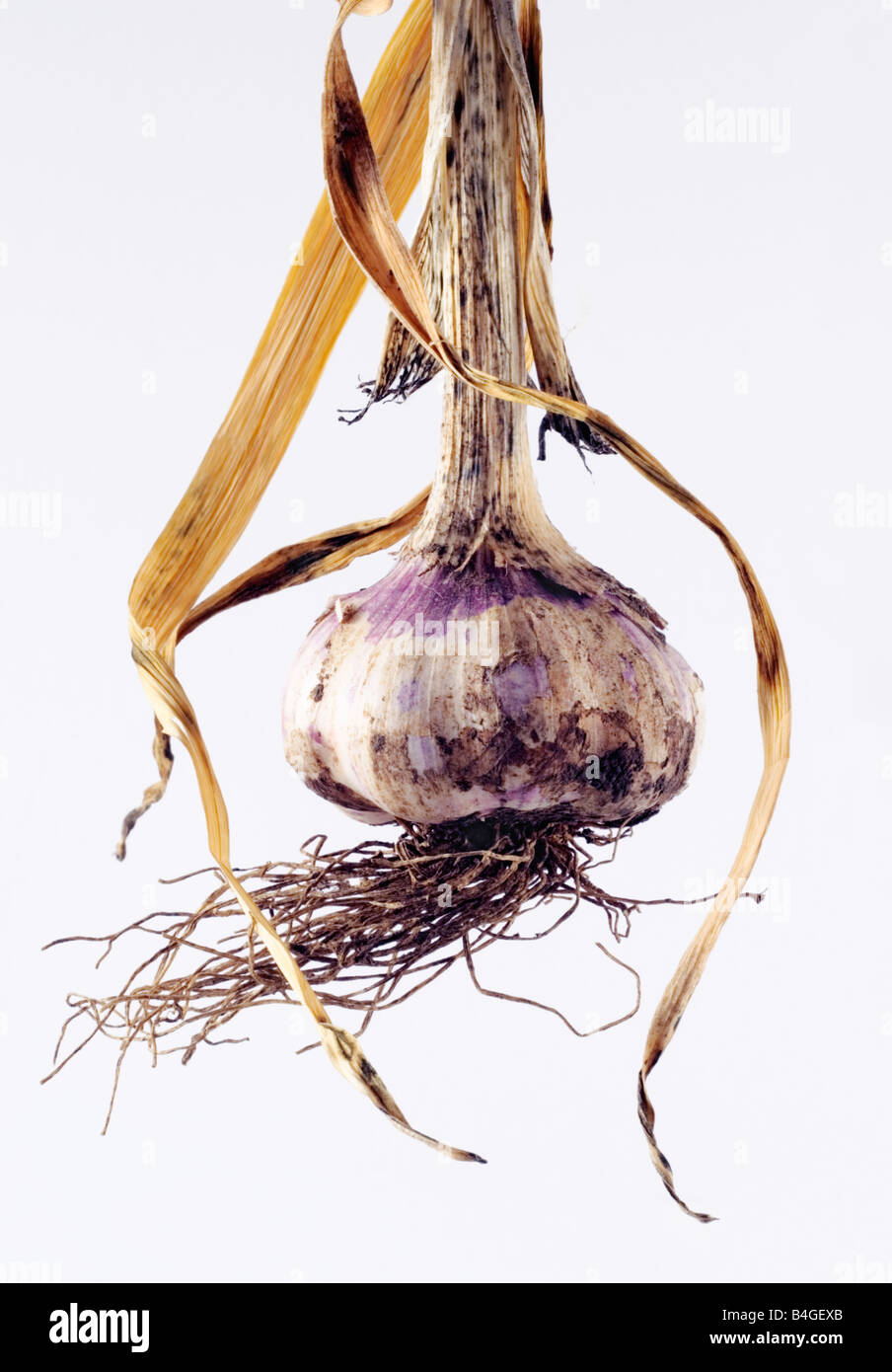 Garlic bulb freshly harvested Stock Photo