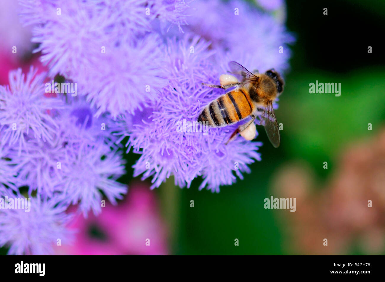 A honey bee, Apis mellifera, gathers pollen from Ageratum. Oklahoma, USA. - Stock Image