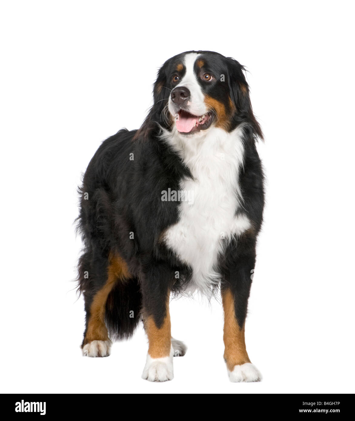 Bernese mountain dog 2 years in front of a white background - Stock Image