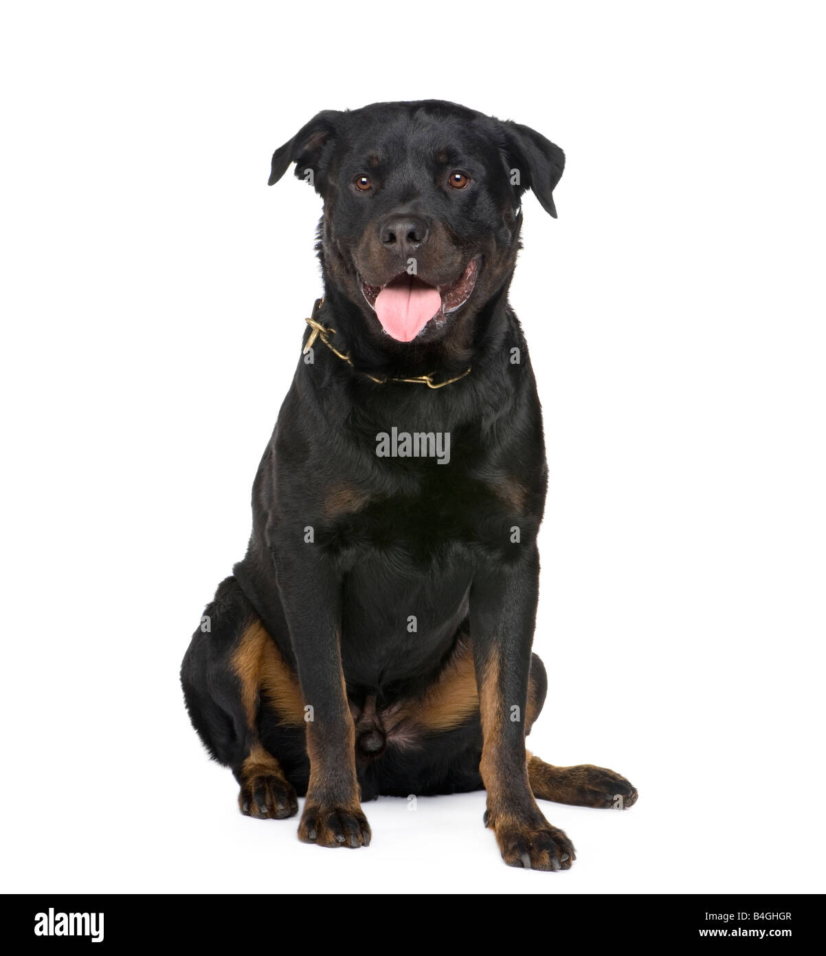 rottweiler in front of a white background - Stock Image