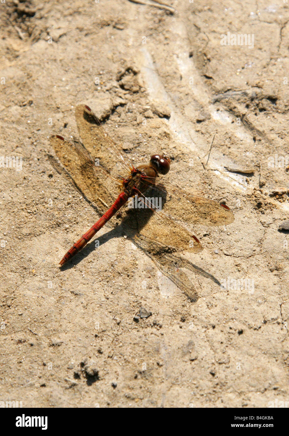 Common Darter Dragonfly Sympetrum striolatum, Anisoptera, Odonata Stock Photo