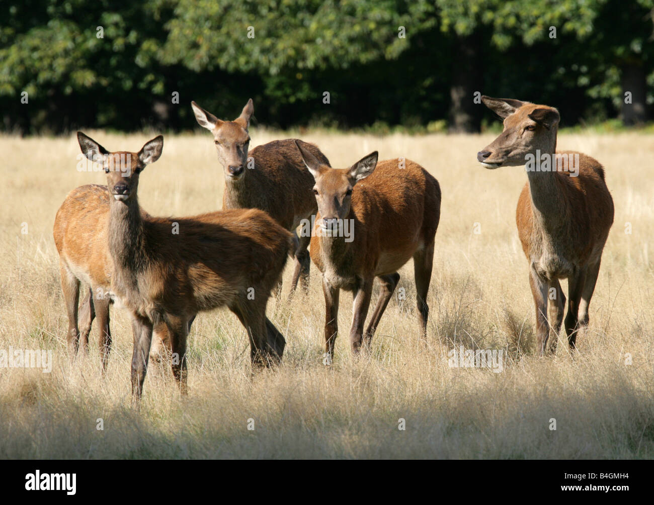 A Group of Five Female Red Deer, Cervus elaphus - Stock Image