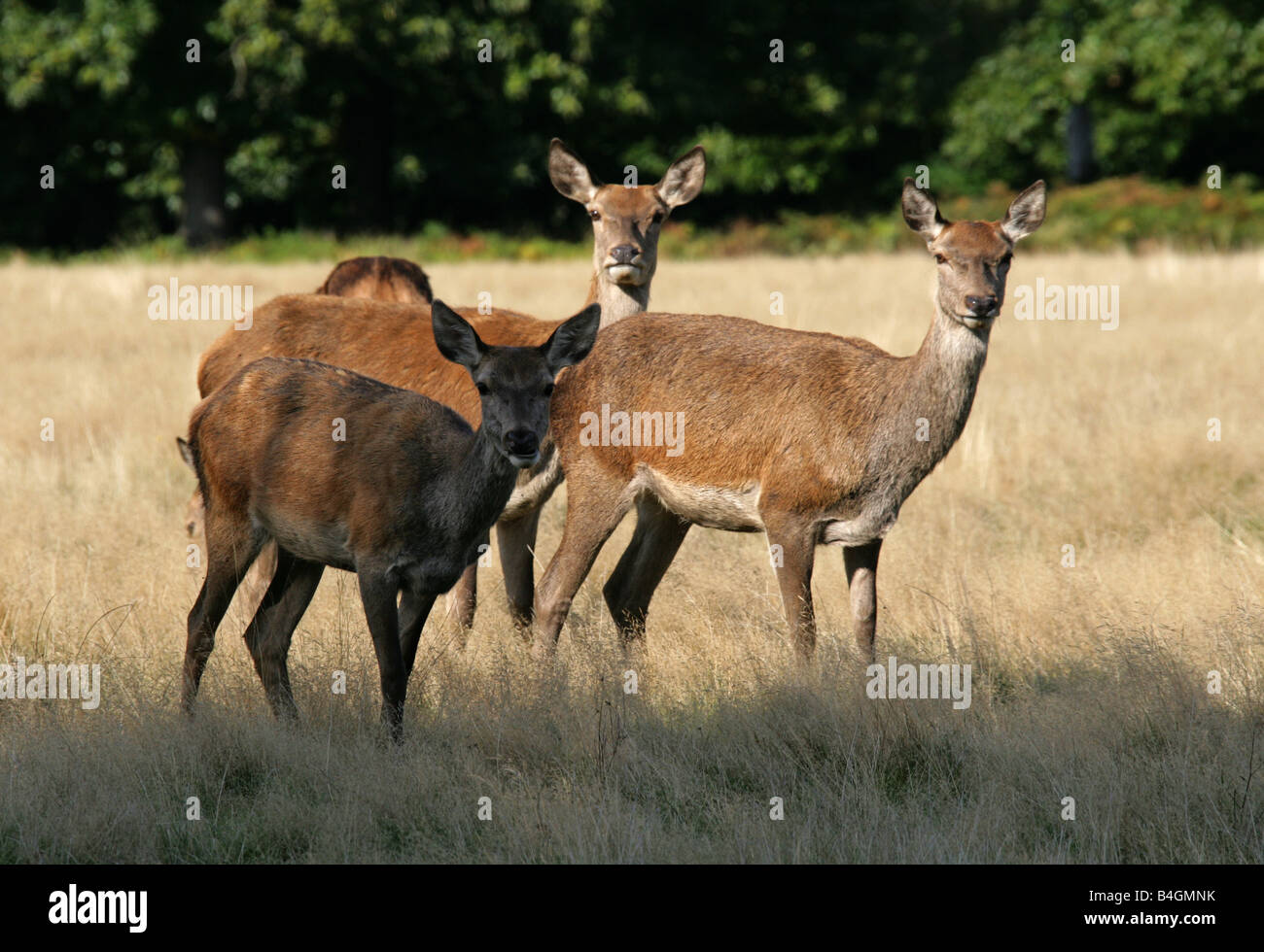 A Group of Three Female Red Deer, Cervus elaphus - Stock Image
