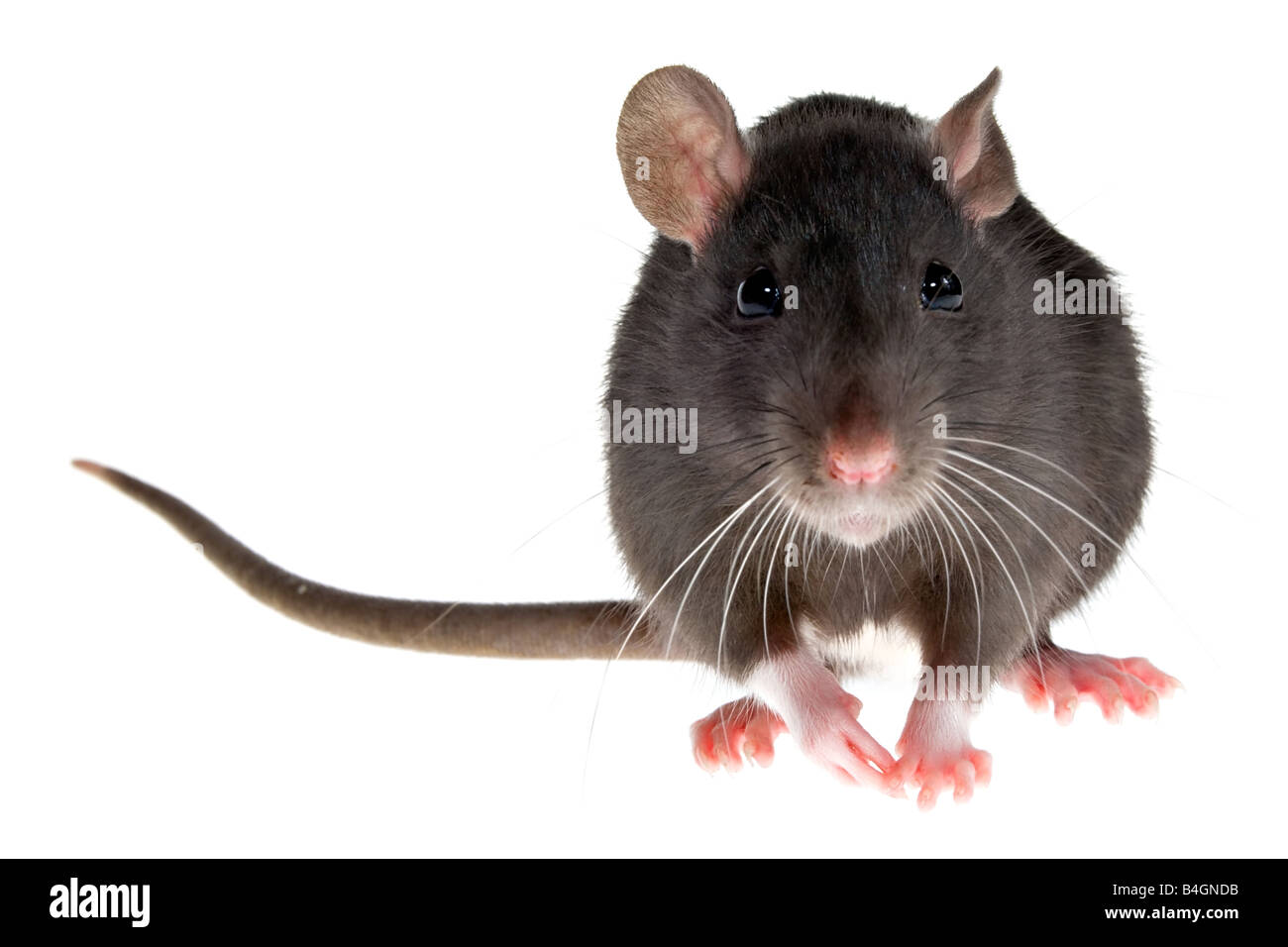 little decorative rat - Stock Image