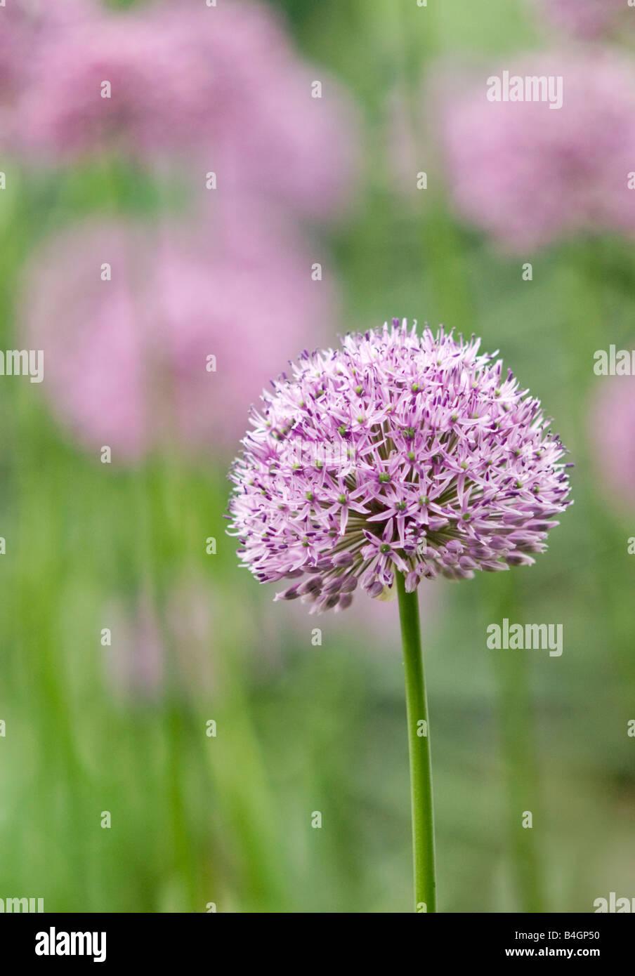 Allium Flowers Allium giganteum - Stock Image