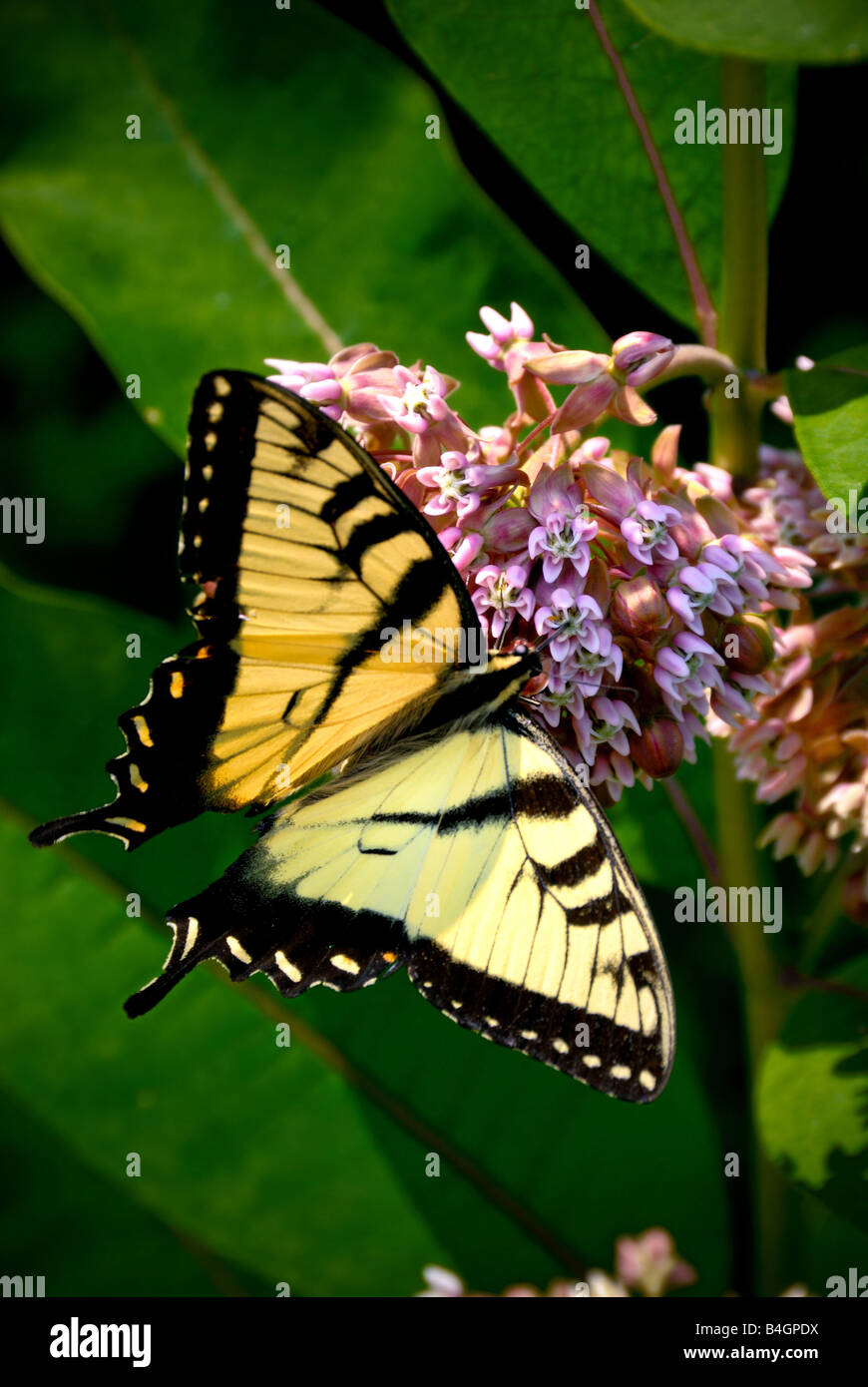 A yellow swallowtail butterfly on a pink flower - Stock Image