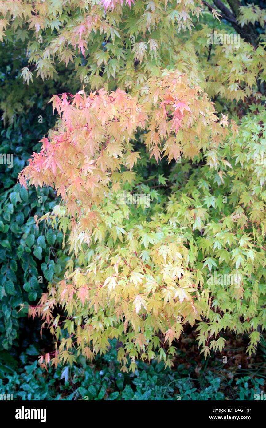 Acer Shirasawanum Aureum Agm Syn Acer Japonicum Aureum Stock Photo