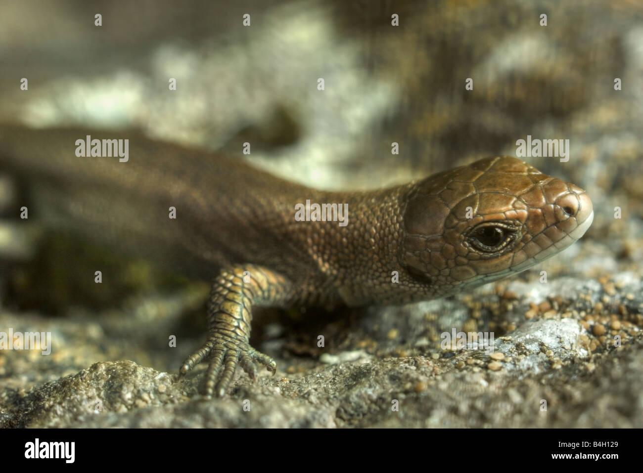 Really young european common lizard (Lacerta vivipara) - Stock Image