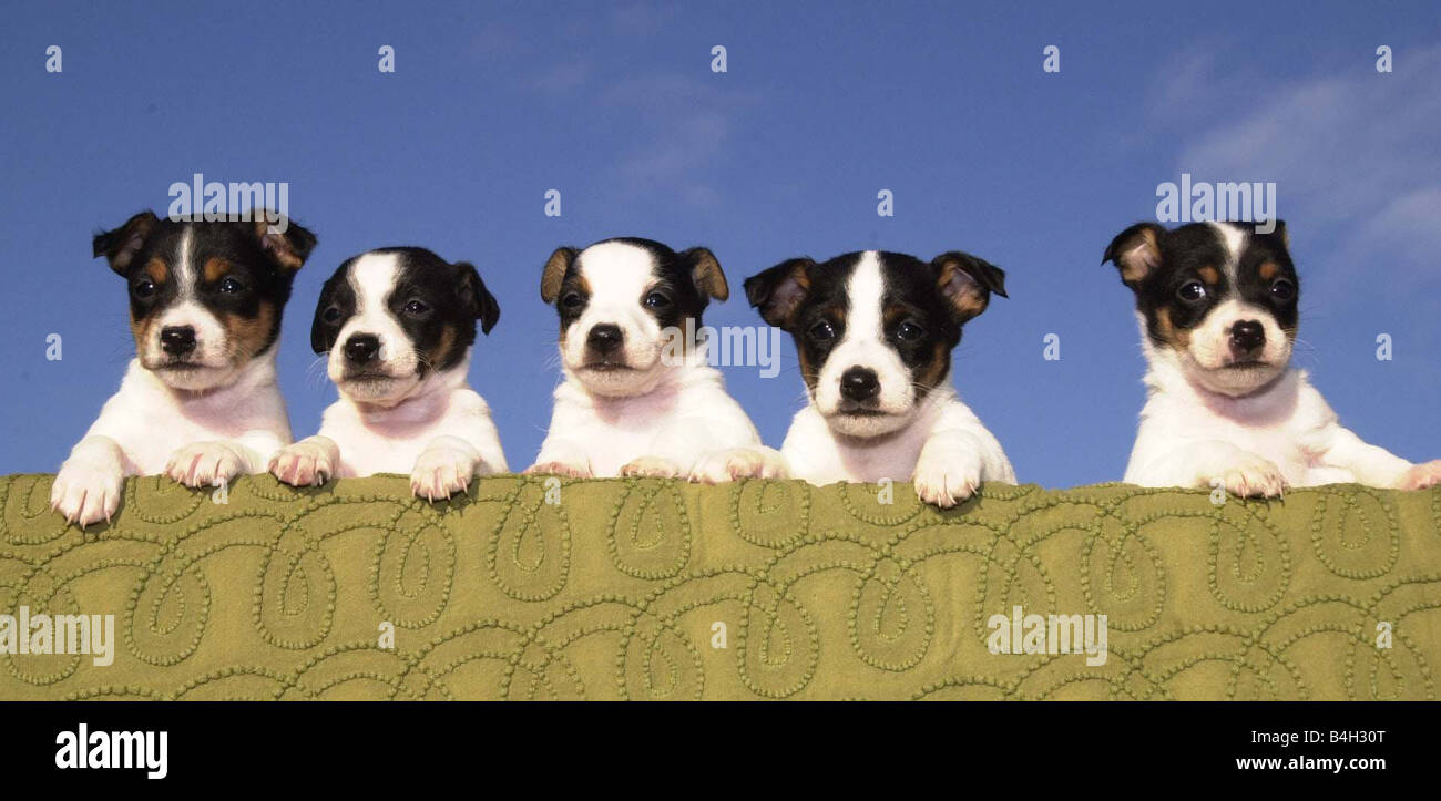 Five Jack Russell puppies that were abandoned on Christmas Eve RSPCA South Ridge Herts January 2001 Mirrorpix - Stock Image