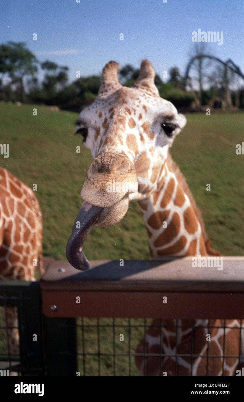 A giraffe s licking its lips at feeding time in Busch Gardens Stock ...
