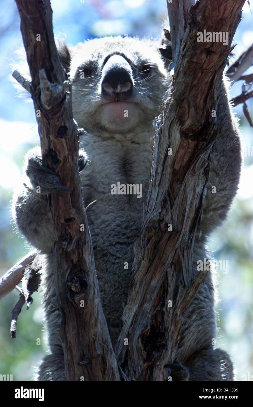 A wild Koala named Malie which survived the Sydney bush fires Australia Mirrorpix - Stock Image