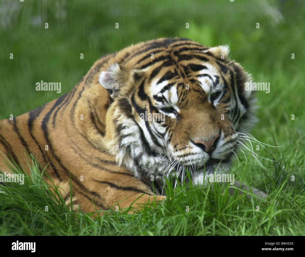 Animals Tiger April 2002 Harak Born Free Sanctuary Kent - Stock Image