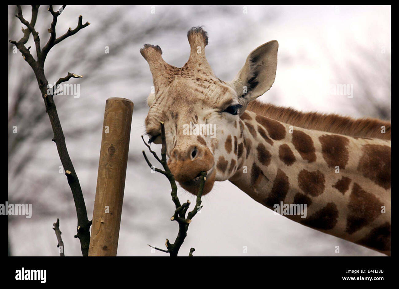 Sapphire the young giraffe at Edinburgh zoo February 2004 undergone a operation to repair a broken jaw after she - Stock Image