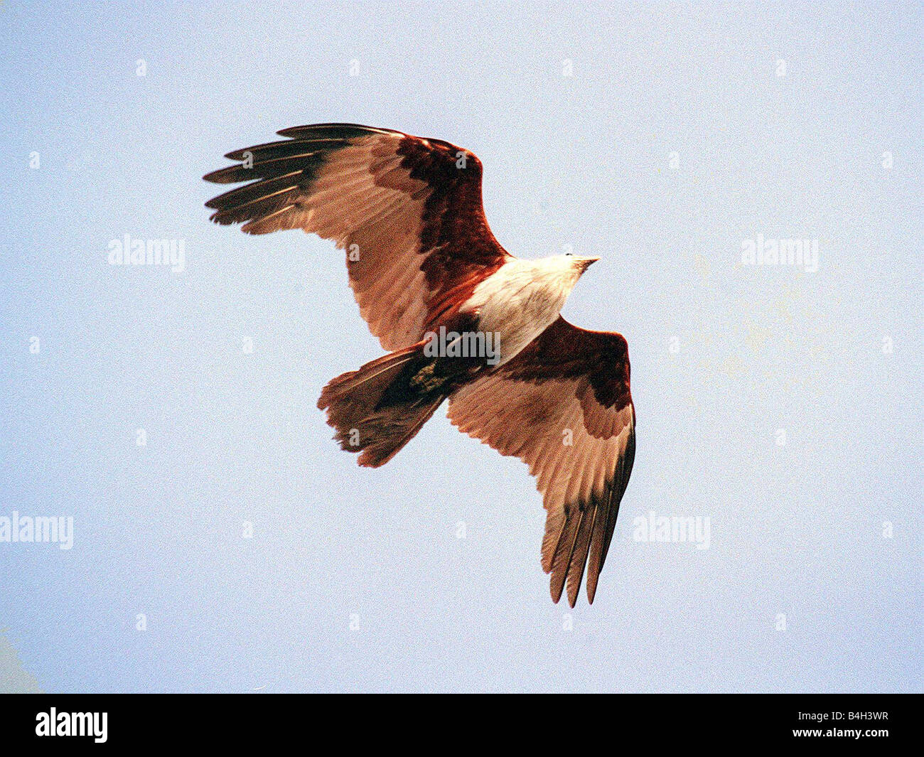 Birds Bird of Prey Kite Brumney Kite February 2002 - Stock Image