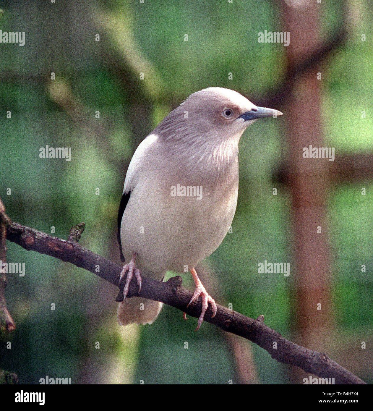 Birds White Wing Starling June 2002 - Stock Image
