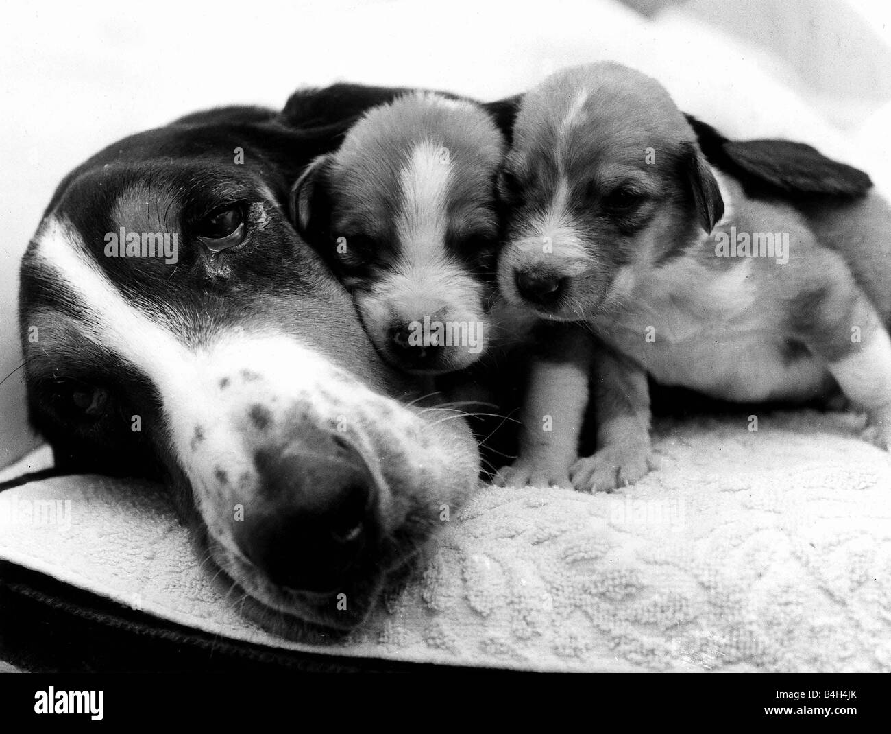 Animals Dog January 1978 Bassie the bassett has found a use for her long lobes keeping her offspring cosy Pups Bill - Stock Image