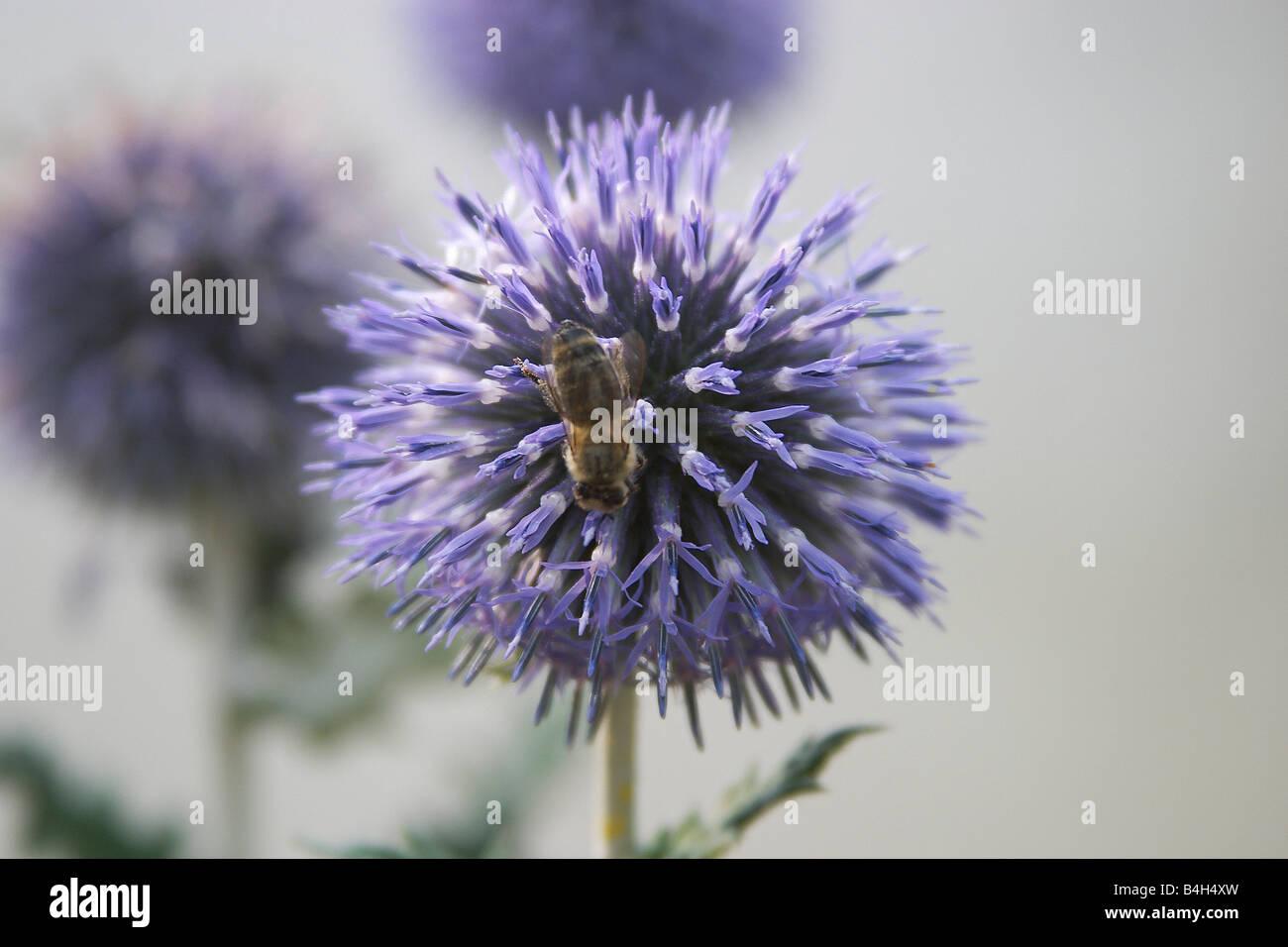Close-up of honeybee pollinating flower Stock Photo
