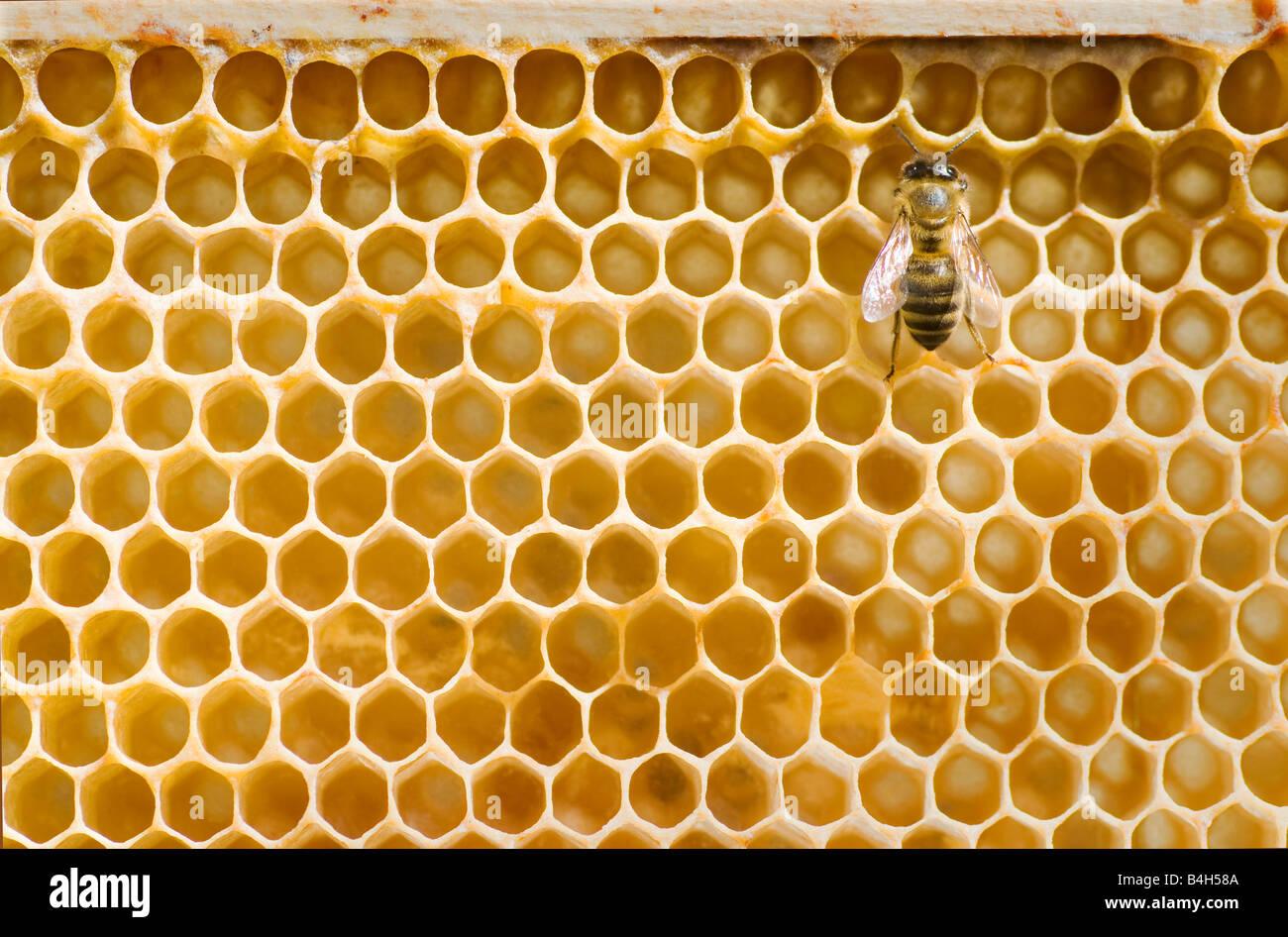 Honeybee on a comb - Stock Image