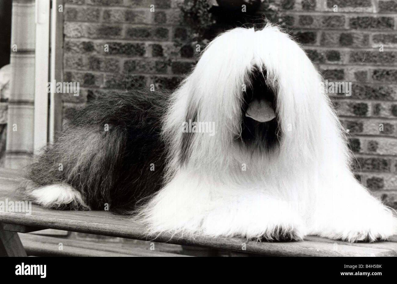 Television Star Dog Duke Aged 9 Is Appearing In The Famous Paint Ads His Owner Dawn Hutchinson Sheepdog June 1984 Mirrorpix