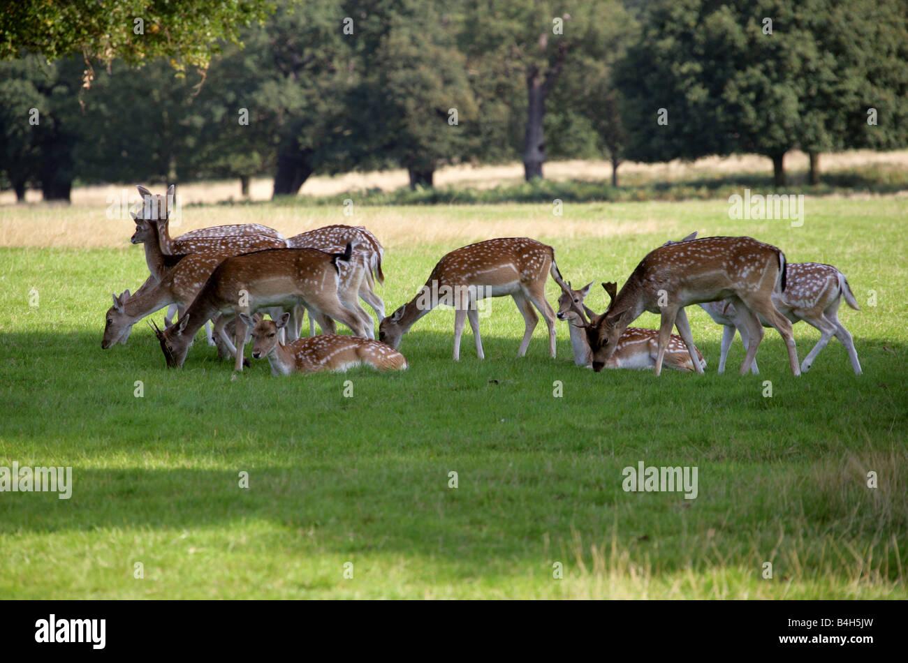European Fallow Deer, Dama dama - Stock Image