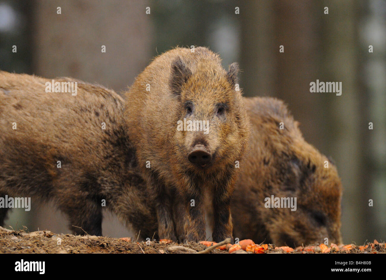 Three Wild Boars (Sus Scrofa) foraging in forest - Stock Image