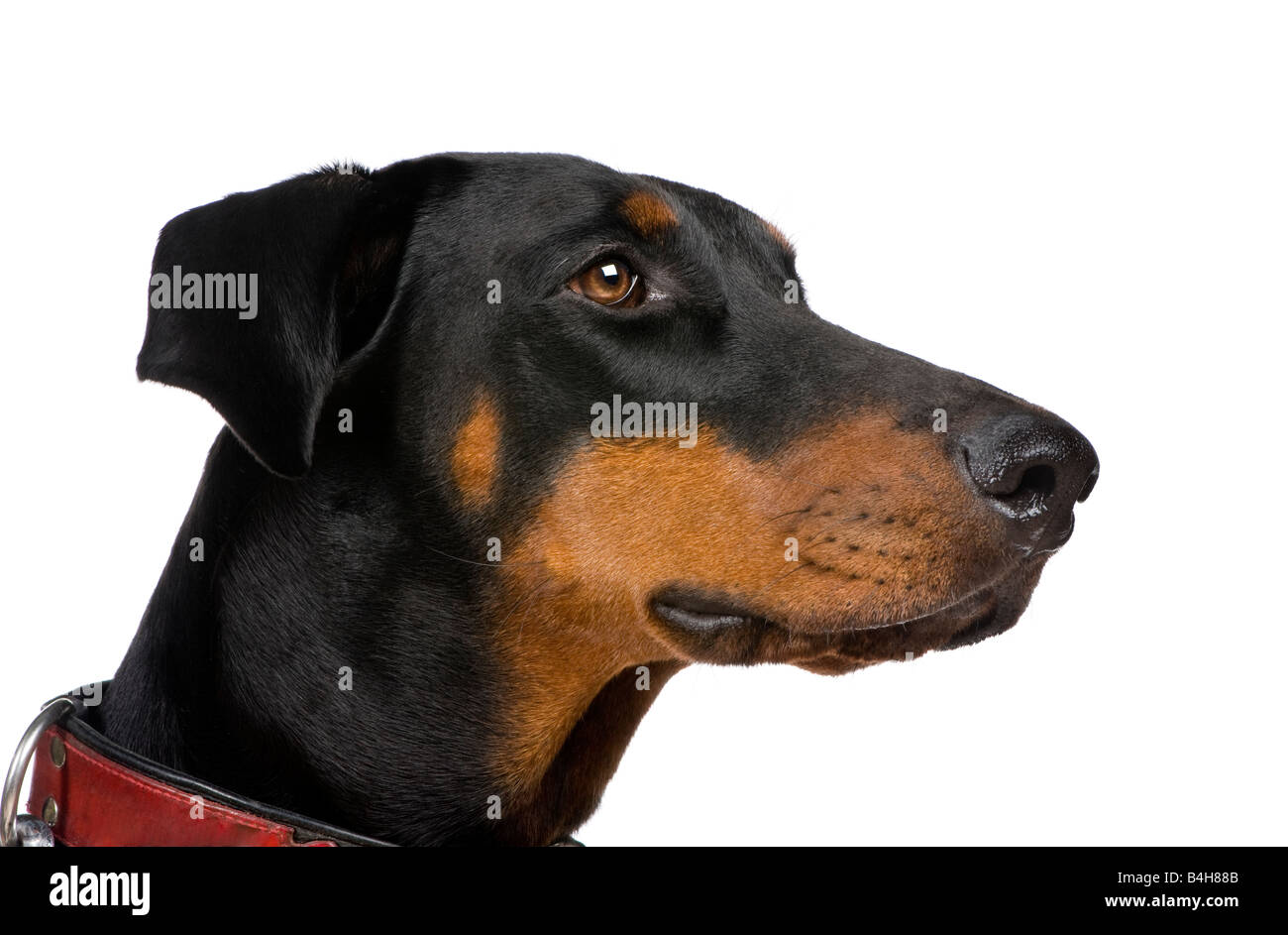 Doberman Pinscher (2 years) in front of a white background - Stock Image