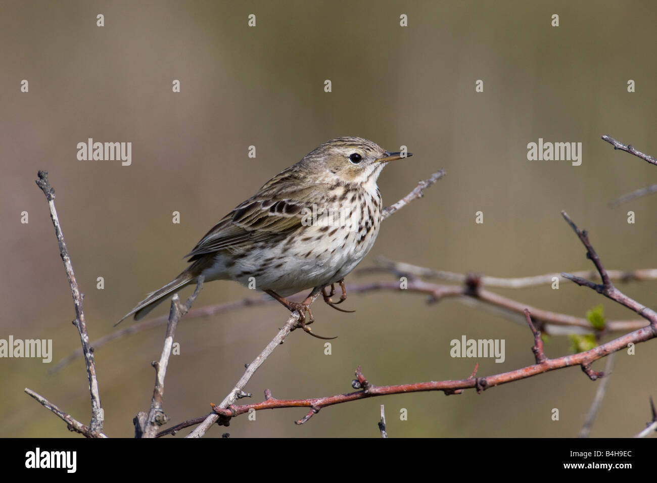 Close-up of Meadow Pipit (Anthus pratensis) perching on branch Stock Photo