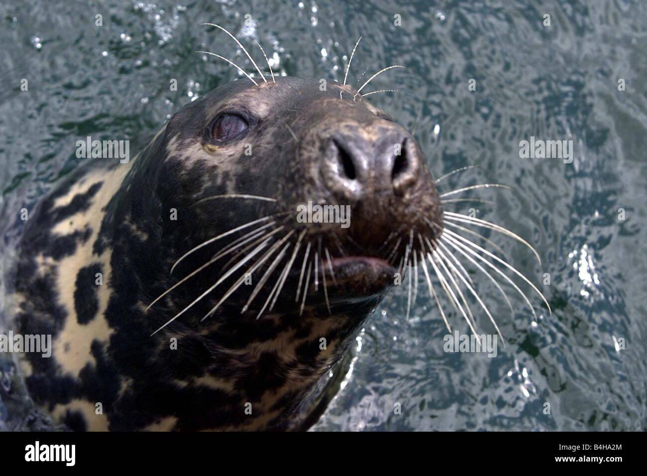 Bangor s Sea Friend Sammy The Seal July 2002 Sammy the Seal in Bangor Marina - Stock Image