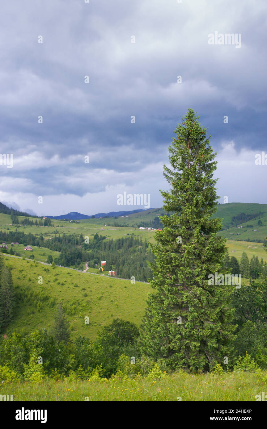 Summer mountain view with high fir tree and storm clouds - Stock Image