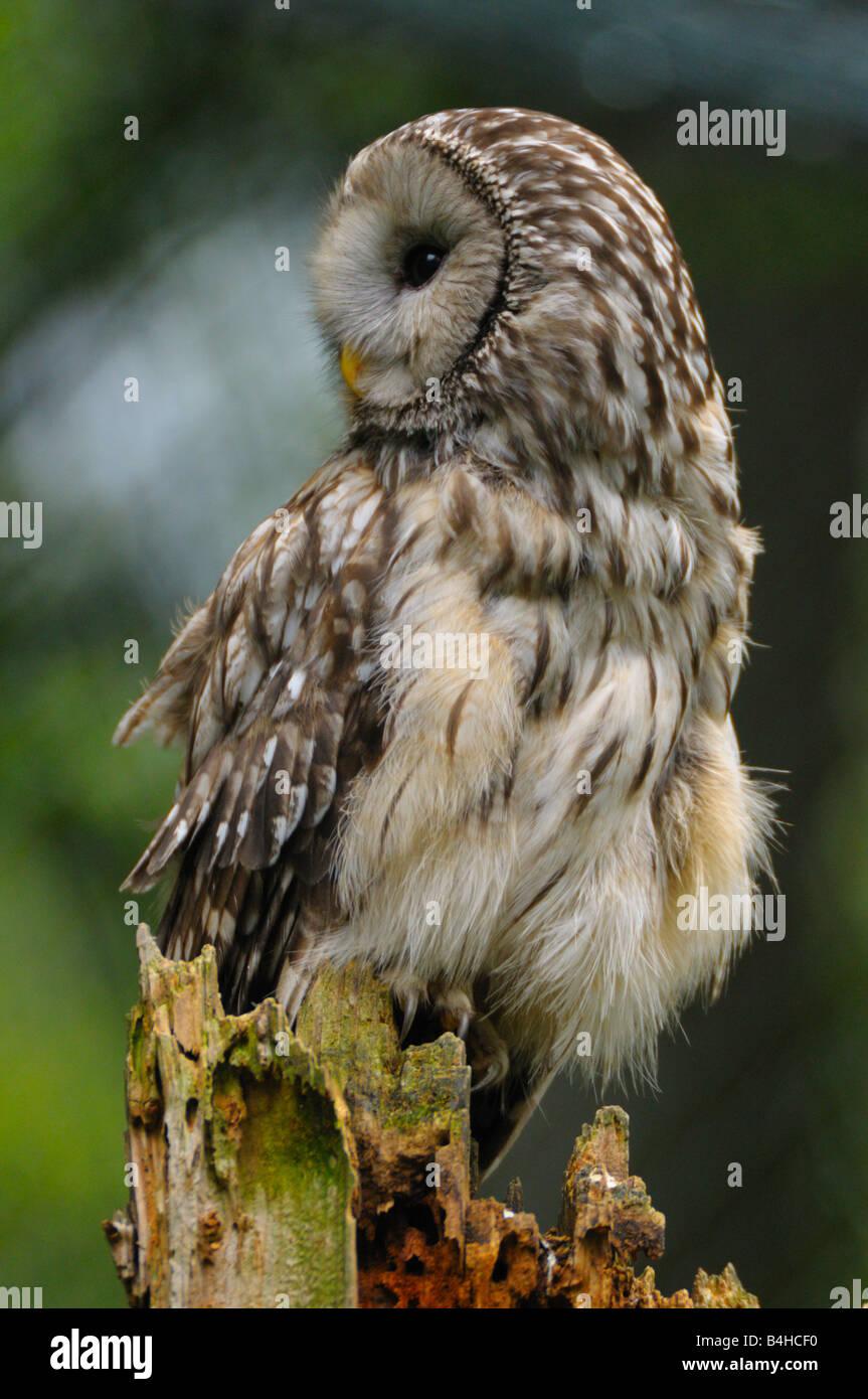 Close-up of owl perching on tree stump - Stock Image