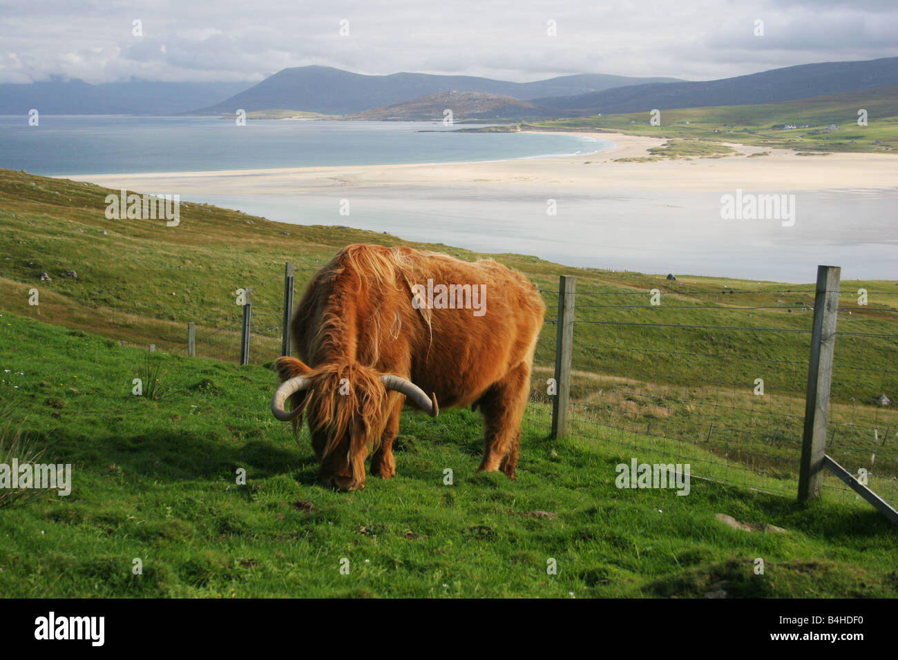 A Highland Cow on Toe Head, Harris, Outer Hebrides, Scotland, with Traigh Scarista behind - Stock Image