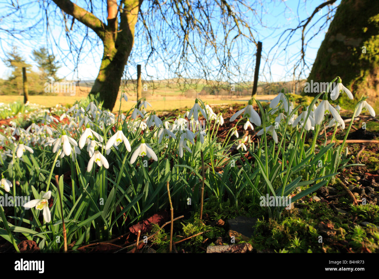 Naturalized Snowdrops (Galanthus nivalis) flowering in the garden of an abandoned house. Powys, Wales, UK. - Stock Image