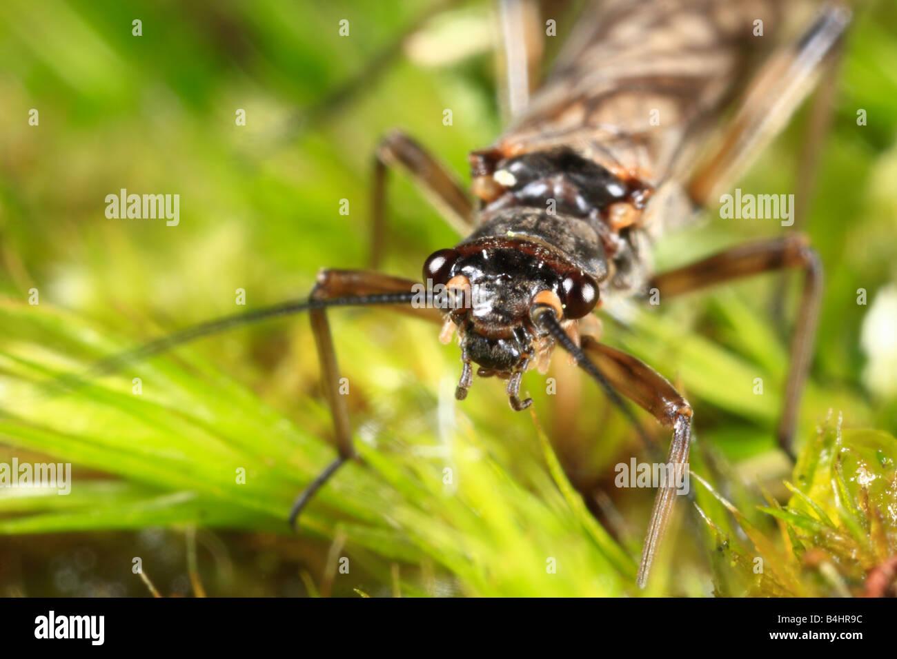 Small Stonefly (Plecoptera) on moss. Powys, Wales. UK - Stock Image