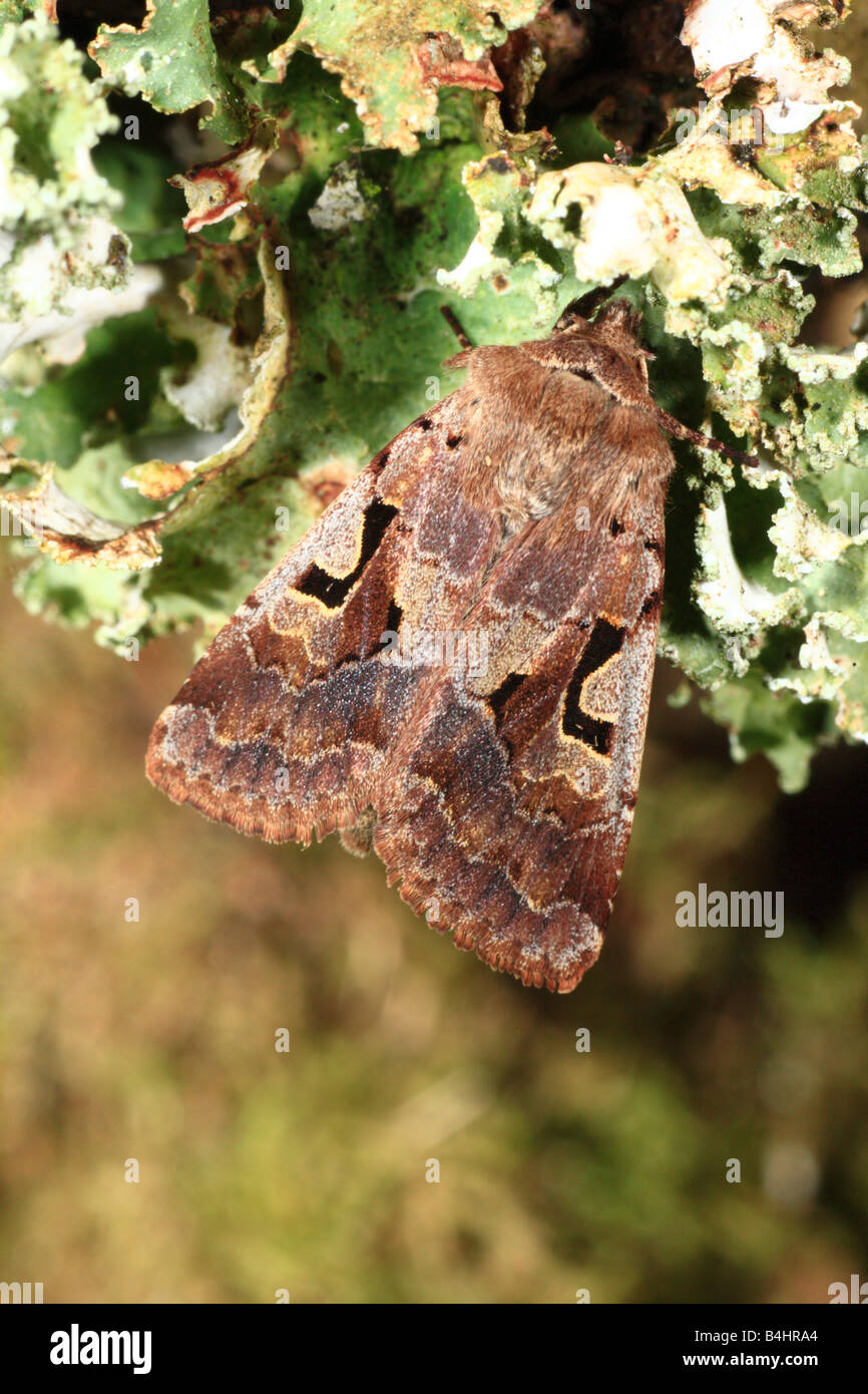 Hebrew Character moth (Orthosia gothica). Powys, Wales. - Stock Image