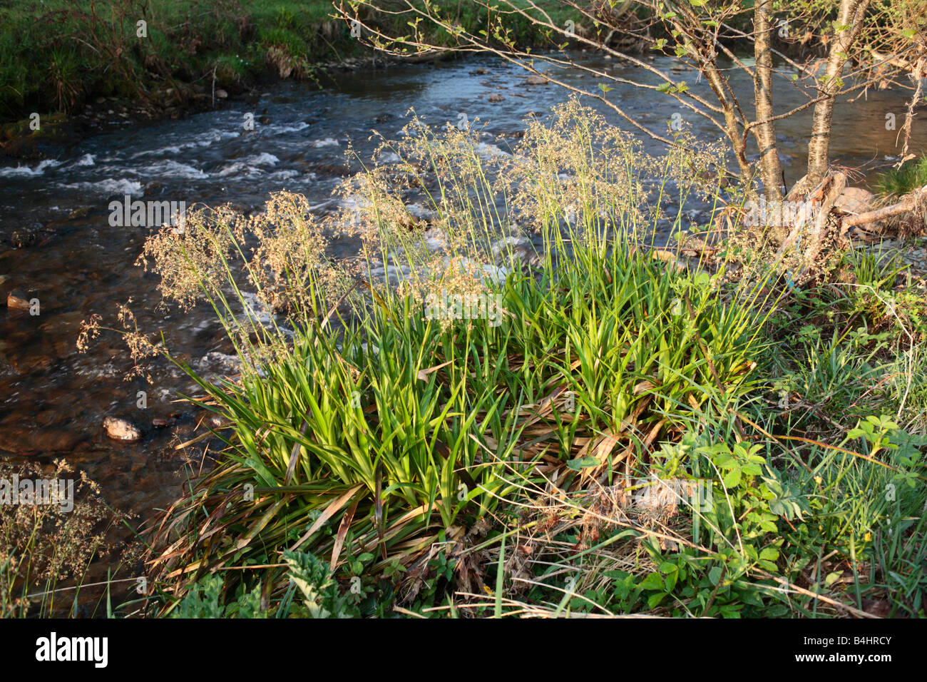 Greater Woodrush (Luzula sylvatica) flowering beside the River Severn. Powys, Wales. - Stock Image