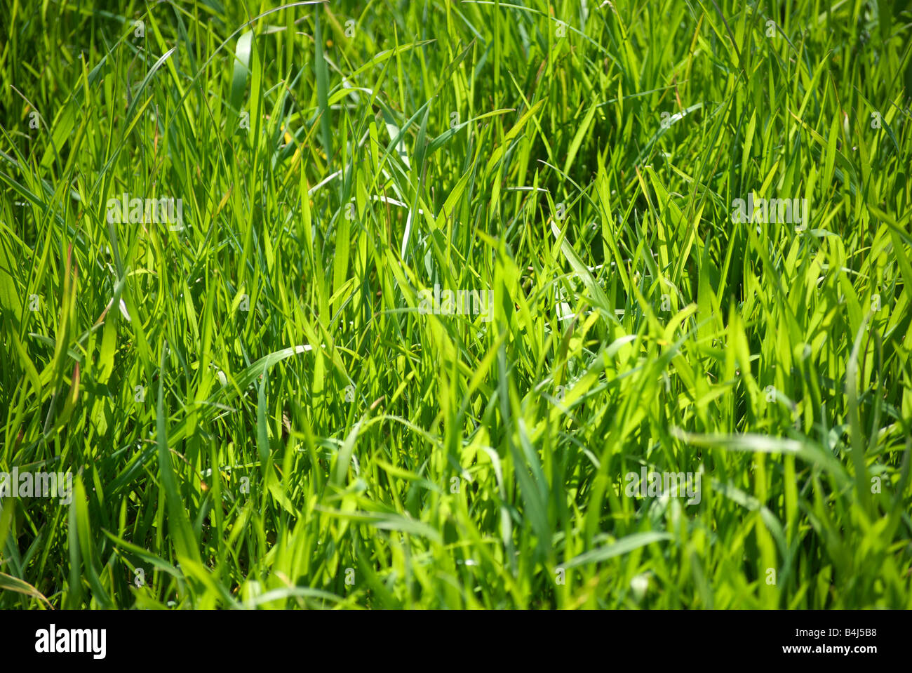 Sunlight shines strongly on a patch of green medium length grass. - Stock Image