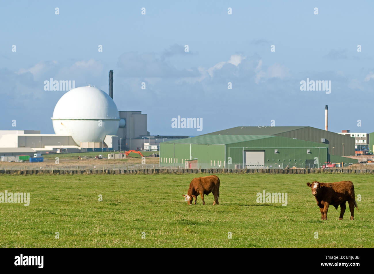 Cattle Graze Peacefully by the Dounreay Atomic Energy Plant Thurso Caithness Northern Scottish Highlands UK - Stock Image