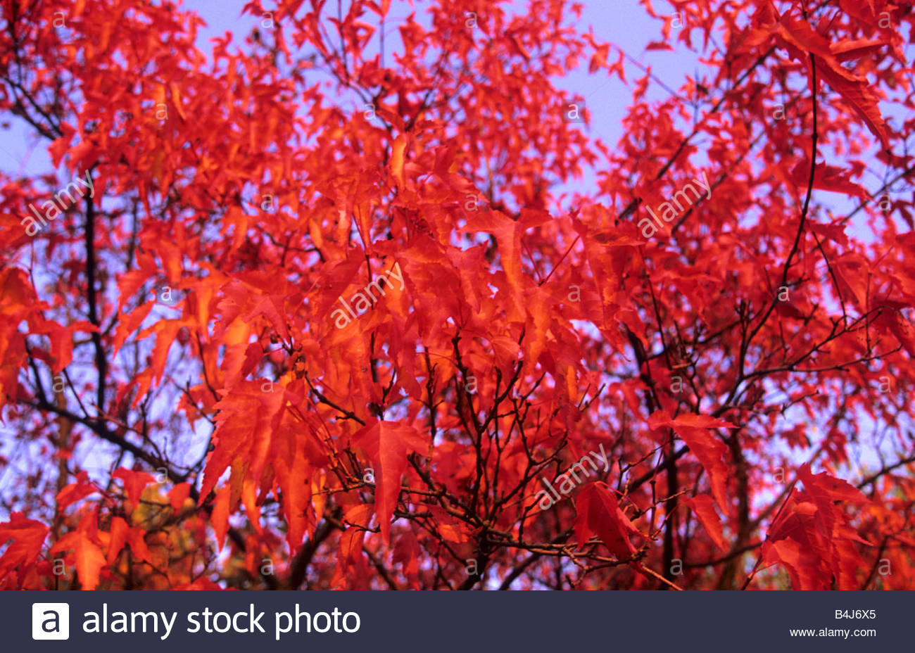 Acer Ginnala Stock Photos Acer Ginnala Stock Images Alamy