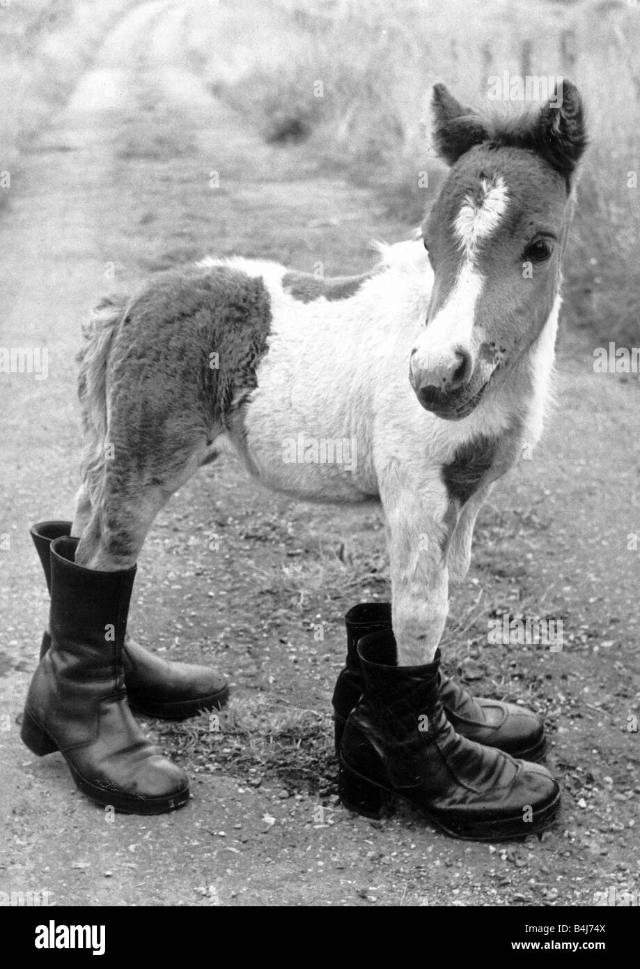 Horses Shetland Pony Ponies Britains smallest Shetland Pony Lucky When she was born she was only 14 inches long - Stock Image