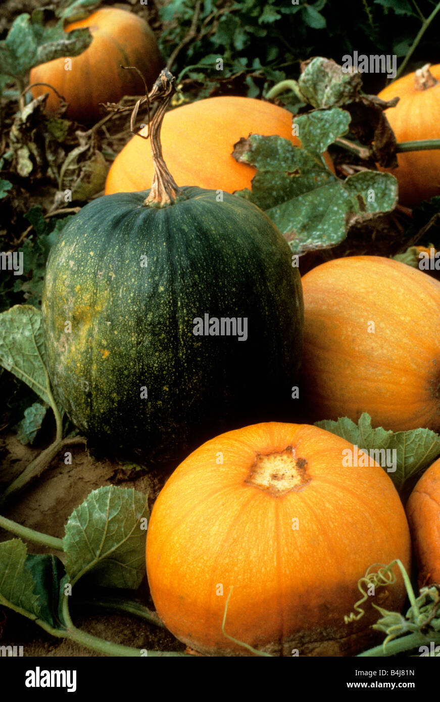 Pumpkins Growing on the Vine in the Field Sandra Baker - Stock Image