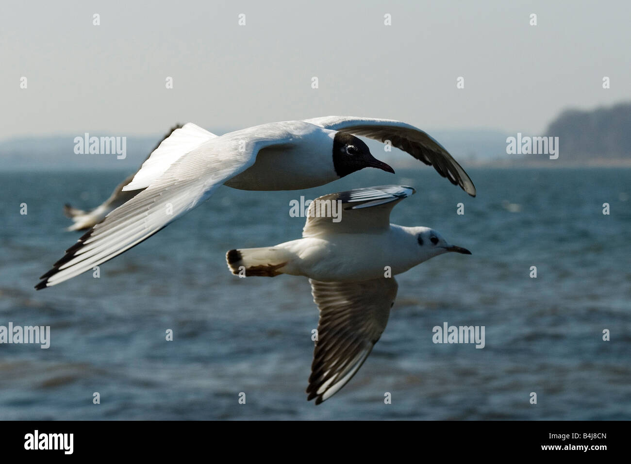 Black-headed Gull (Larus ridibundus) One individual in breeding plumage front the other in non breeding plumage, - Stock Image